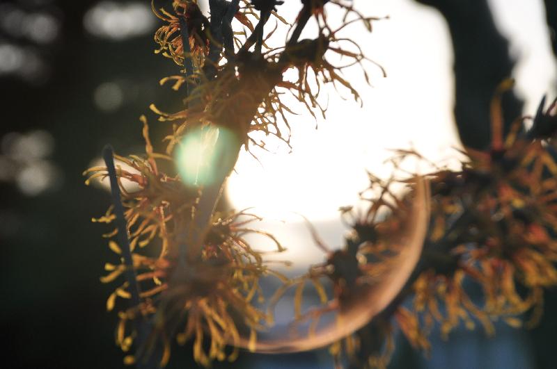 Zaubernussblüten vor dem Licht der Abendsonne