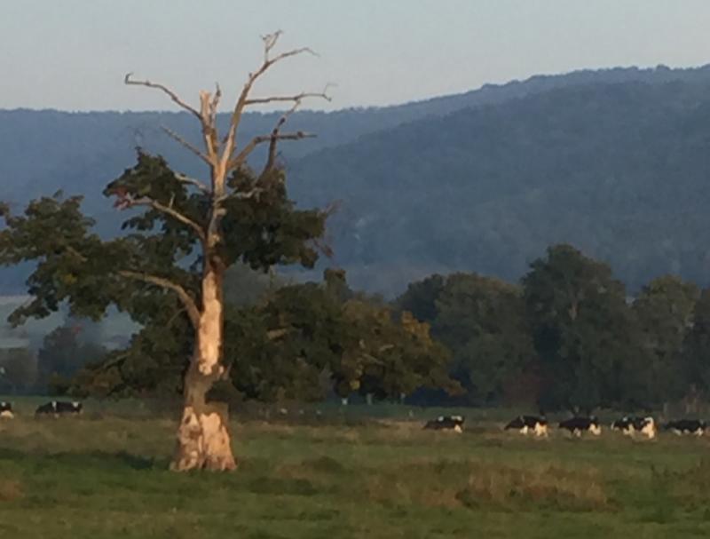 Ein Baum, Berge, Kühe